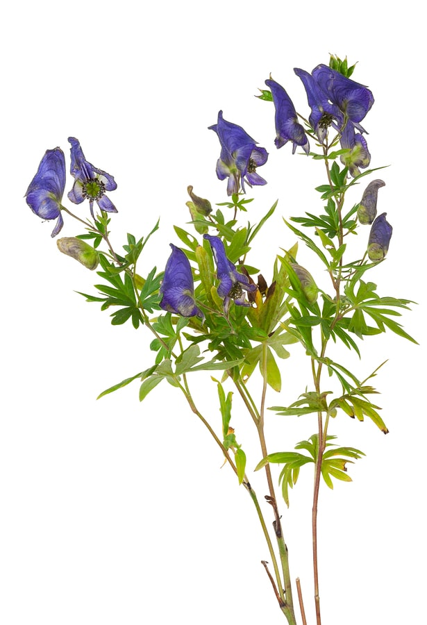 aconite-monkshood